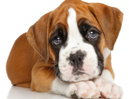 Podium   ¿Como saber si mi perro está triste?